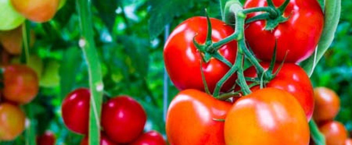 Situación del tomate para consumo fresco