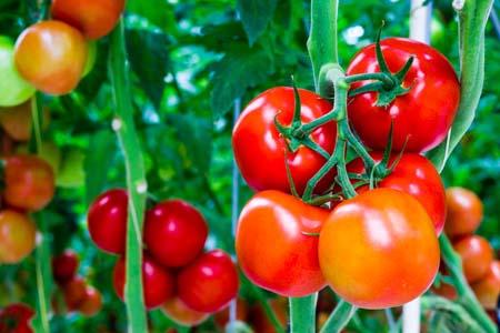 Foto de tomates en su planta