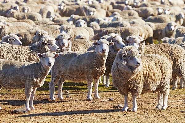 Fotografía de ovejas en una pradera