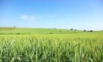 Campo de trigo verde en el sur de Portugal.