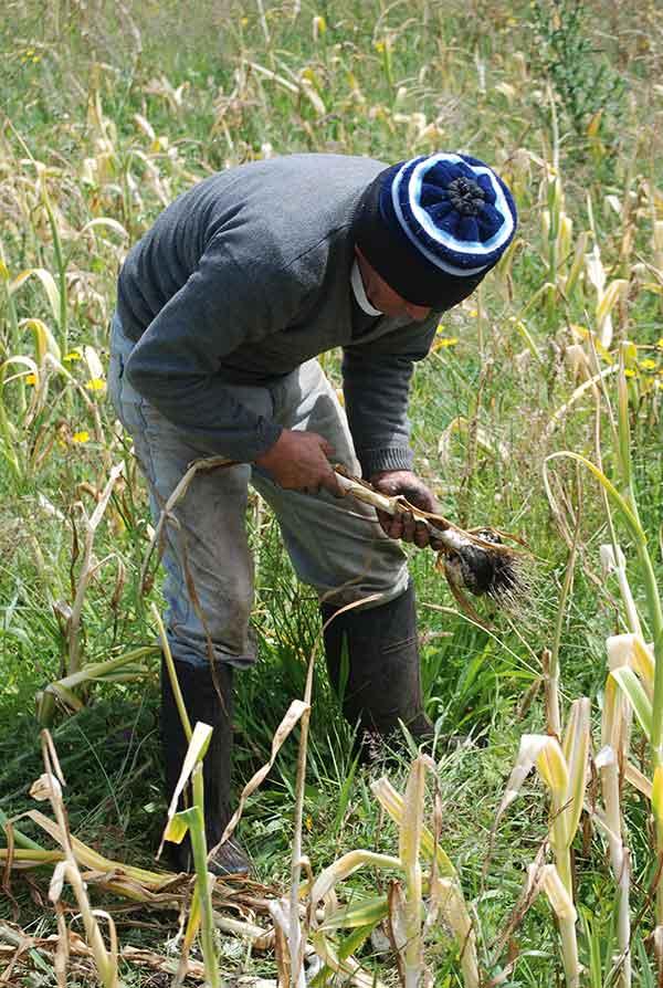 Campesino cultivando ajos - Chiloé