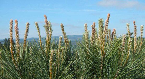 Oportunidades comerciales para el Piñón de pino piñonero (Pinus pinea L.) en Chile