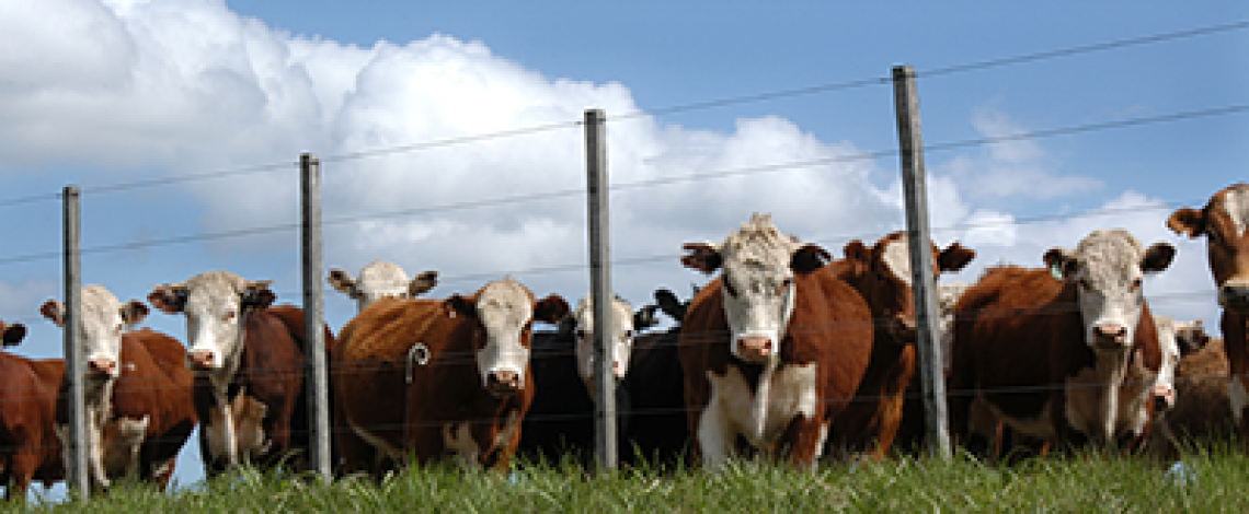 Exportación de bovinos en pie