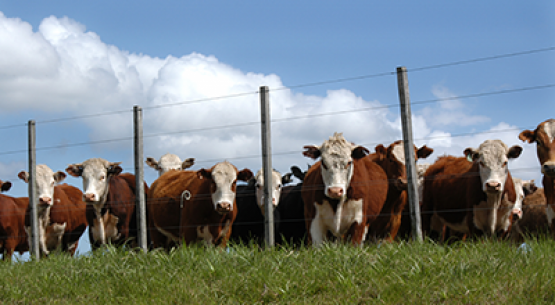 En primer cuatrimestre, fuerte alza en los precios de remate del ganado vivo