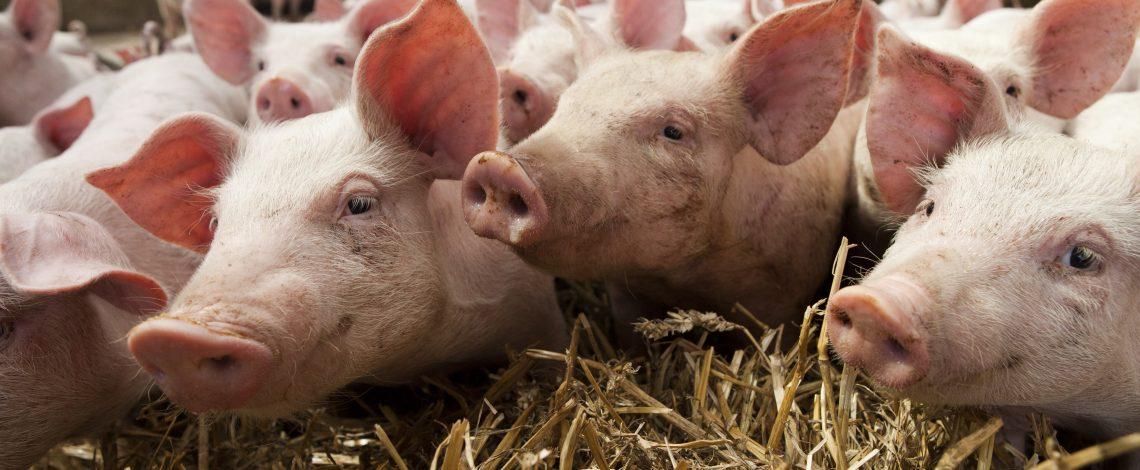 La industria porcina chilena es una de la principales del sector agropecuario