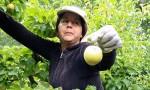 Temporera cosechando fruta