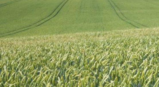 Antecedentes para la comercialización de trigo esta temporada 2017/2018