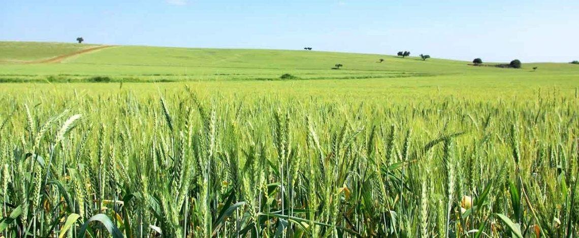 Fichas de costo de trigo