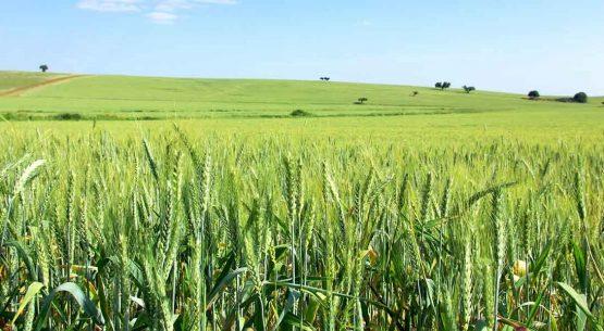 Mercado del trigo