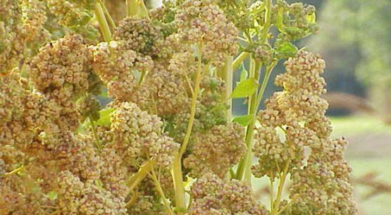 La quínoa en Chile, el despegue de un grano ancestral. Enero de 2018