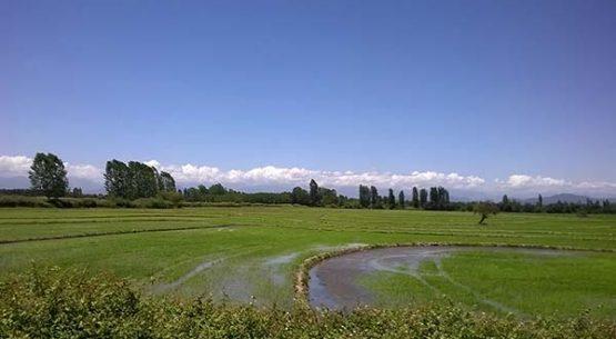 La  cadena del arroz en Chile