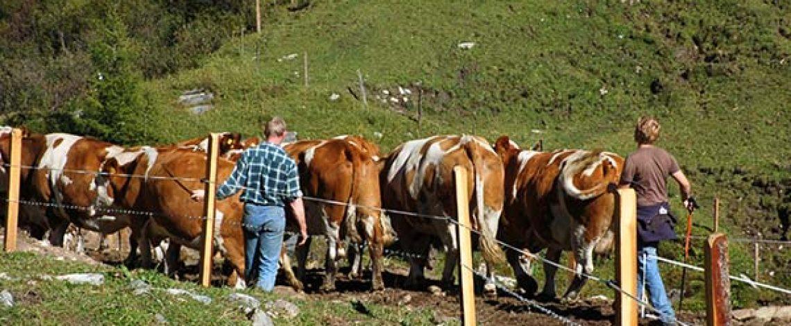 ¿Cómo rentabilizar el millón de vacas?