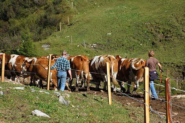 arreo de bovinos en un predio