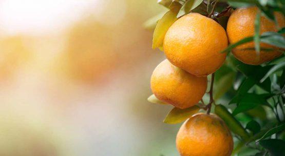 Mandarinas: Chile se concentra en un solo mercado
