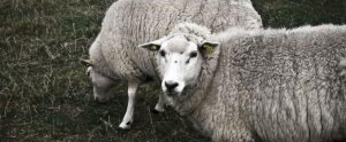 Mercado informal, falta de mataderos y nula asociatividad estancan la producción ovina en la provincia