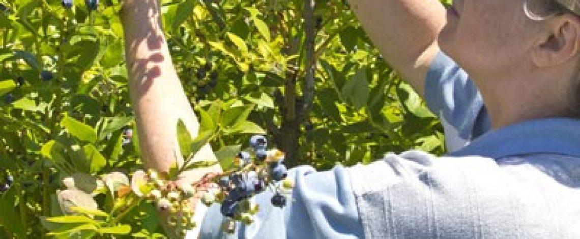 Estudio estándar de sustentabilidad para la producción de berries en Chile