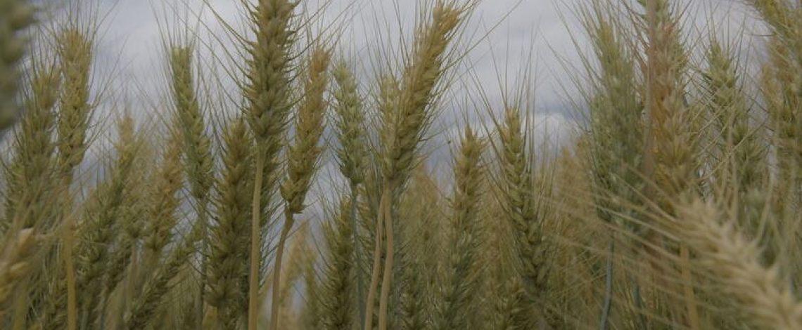 El comercio mundial de trigo proyectado para 2020/21 se eleva en 1,2 millones de toneladas