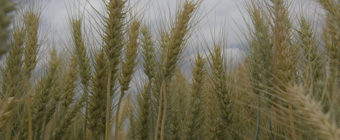 Información en Odepa sobre cereales