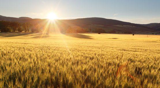 La proyección mundial de trigo para 2021/22 es de mayores suministros, mayor consumo, más comercio y mayores existencias finales