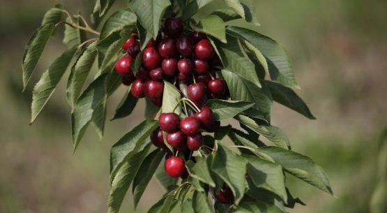 Ministerio de Agricultura anuncia apertura de mercado de Vietnam para cerezas chilenas