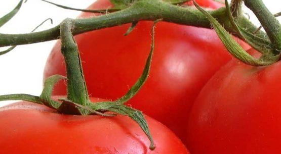 Tomate: una especie de exportación